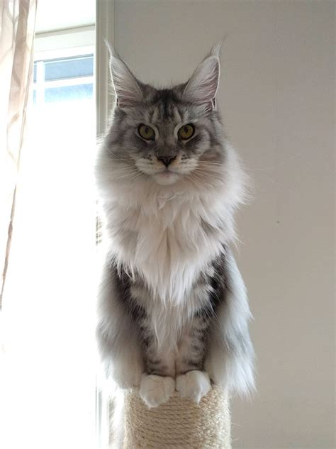 30 Of The Cutest Little Maine Coon Kittens Just Waiting To