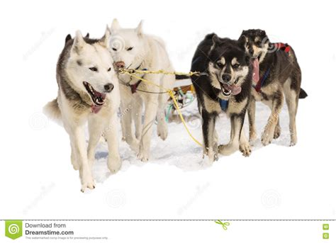 Sled Dogs Hasky In Harness On White Stock Photo - Image of